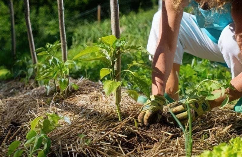 Сорти перцю для відкритого грунту, строки та особливості висадки розсади 22