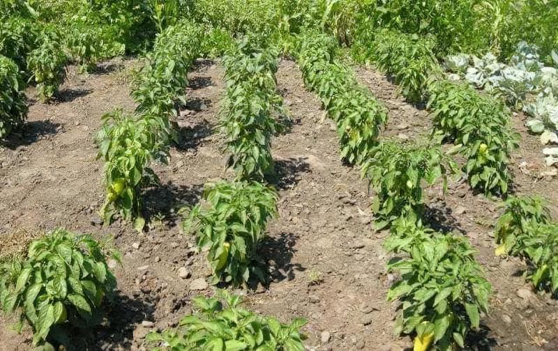Сорти перцю для відкритого грунту, строки та особливості висадки розсади 23