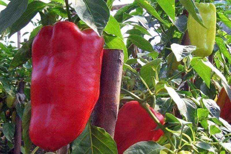 Сорти перцю для відкритого грунту, строки та особливості висадки розсади 4