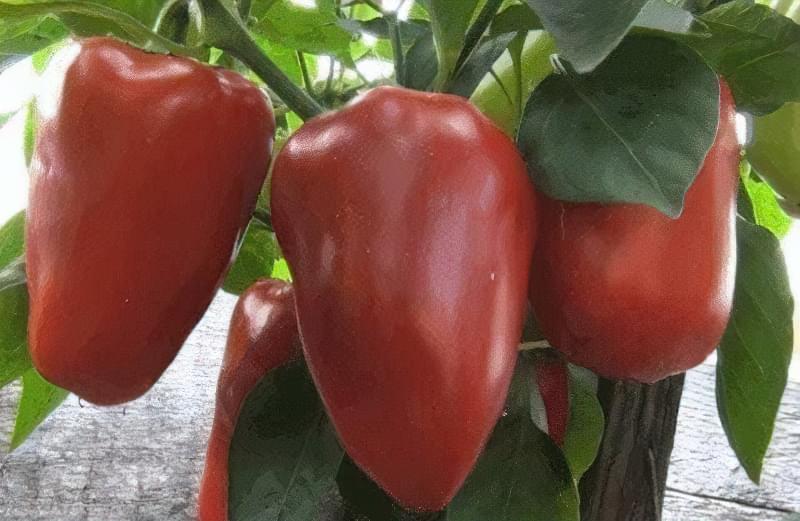 Сорти перцю для відкритого грунту, строки та особливості висадки розсади 6