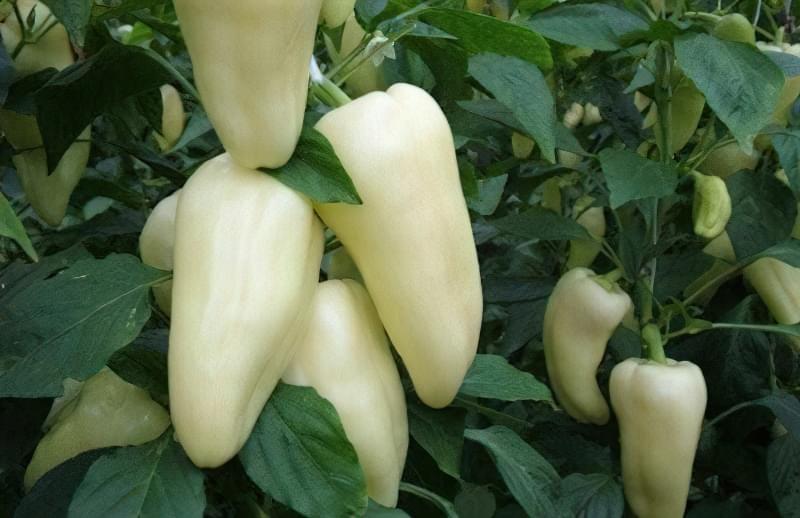 Сорти перцю для відкритого грунту, строки та особливості висадки розсади 7