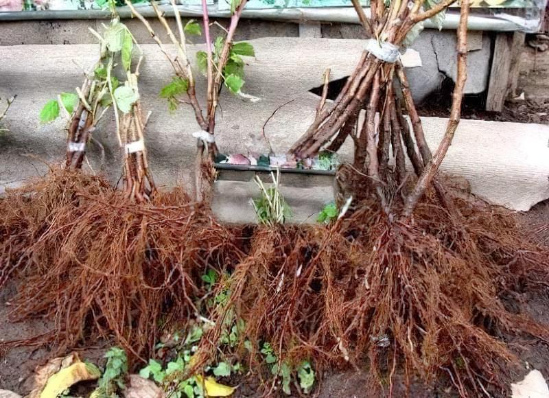Рослини зі здоровою кореневою системою