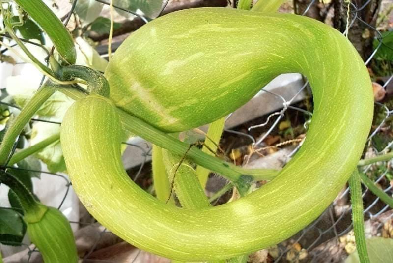 Вирощування кабачків у відкритому грунті: сорти, строки та особливості посадки 13