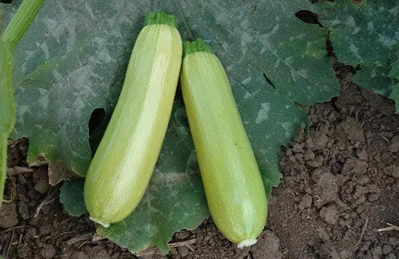 Вирощування кабачків у відкритому грунті: сорти, строки та особливості посадки 3