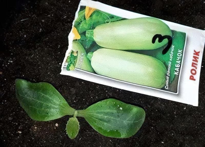Вирощування кабачків у відкритому грунті: сорти, строки та особливості посадки 5