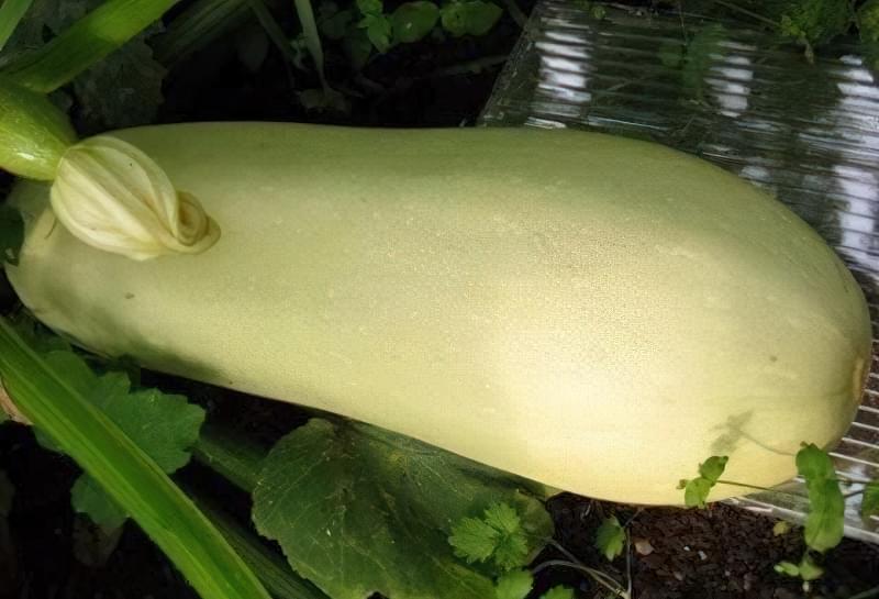 Вирощування кабачків у відкритому грунті: сорти, строки та особливості посадки 6