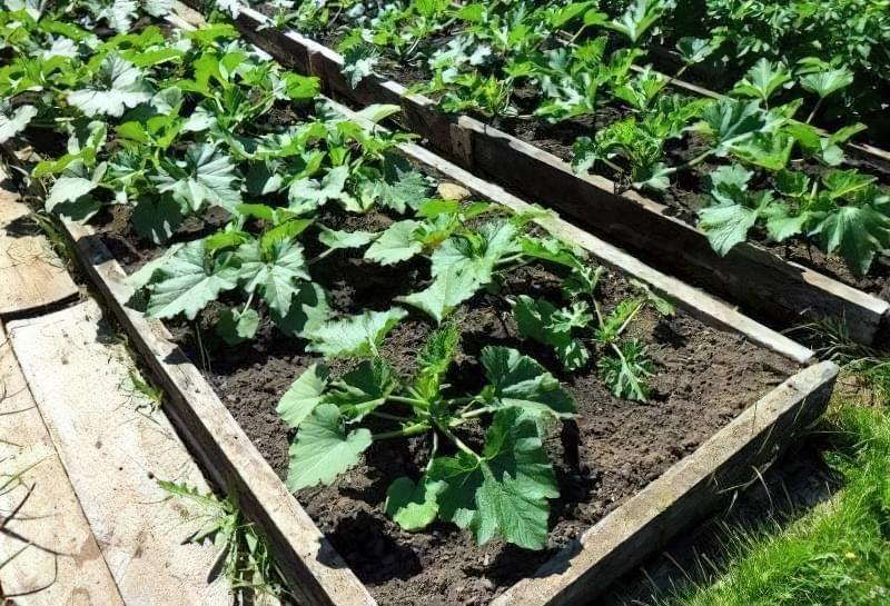 Вирощування кабачків у відкритому грунті: сорти, строки та особливості посадки 1