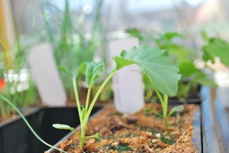 Вирощуємо капусту калі 2