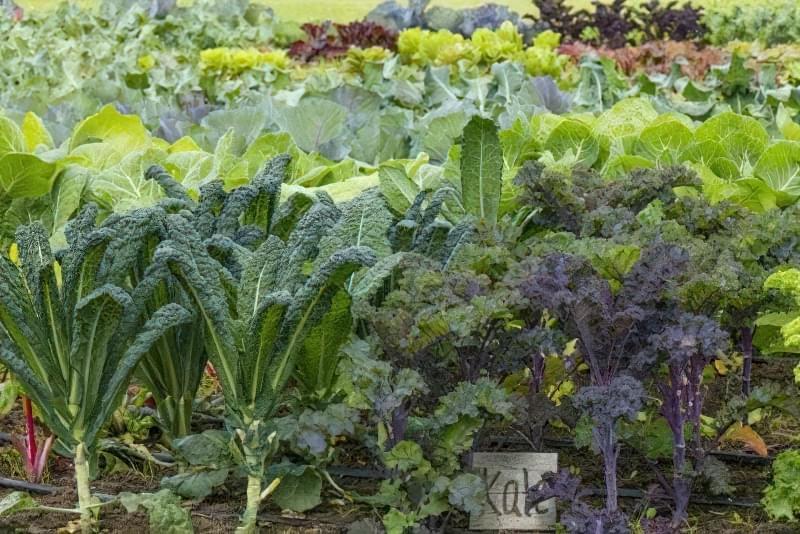 Вирощуємо капусту калі 5