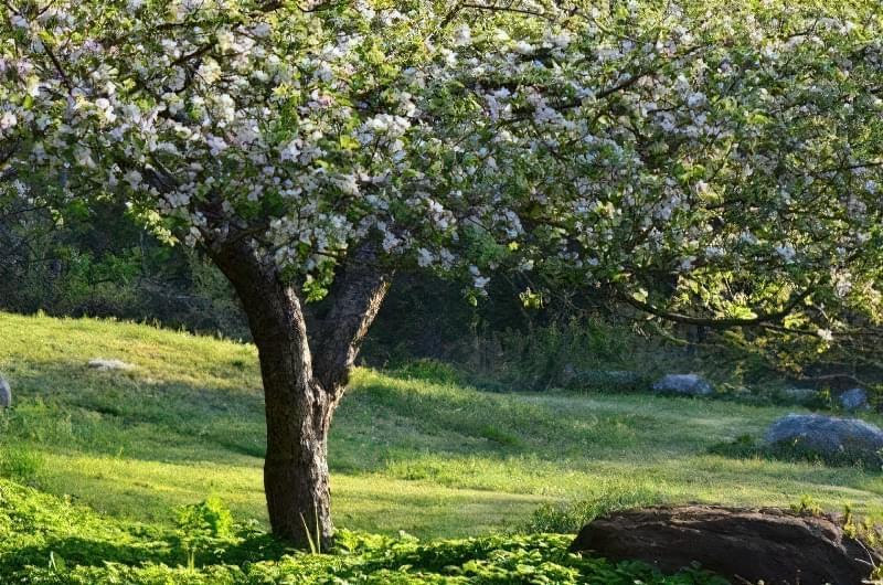 Як омолодити стару яблуню? 1