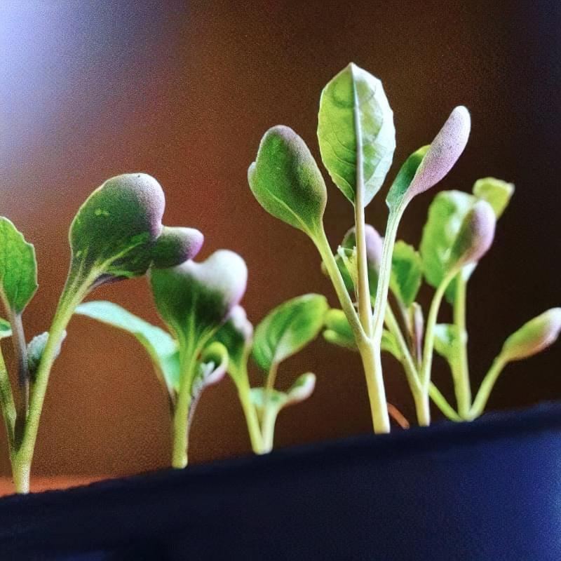 Як отримати хороший урожай цвітної капусти? 3