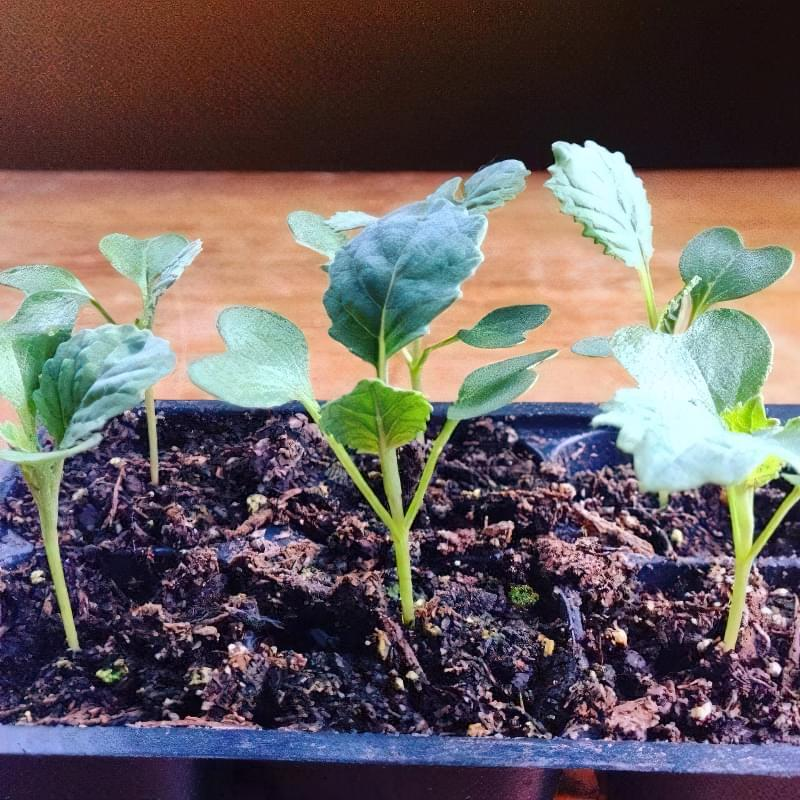 Як отримати хороший урожай цвітної капусти? 4