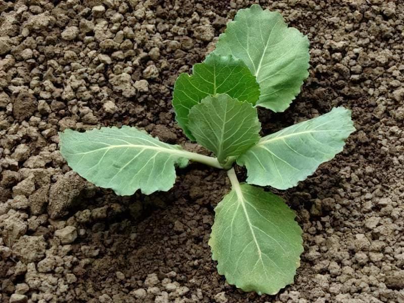 Як отримати хороший урожай цвітної капусти? 5