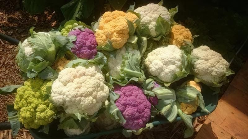 Як отримати хороший урожай цвітної капусти? 1