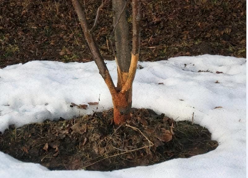 При пошкодженнях кори дерево потрібно обмотати поліетиленом