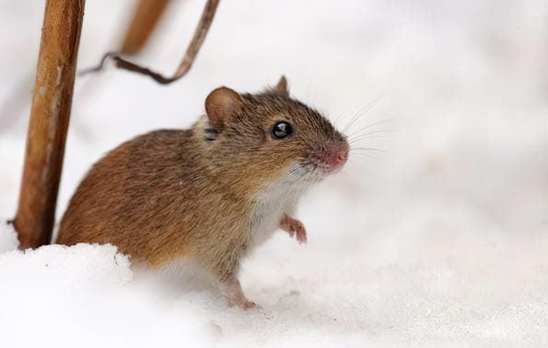 Як швидко врятувати яблуню, якщо кору об'їли миші 1
