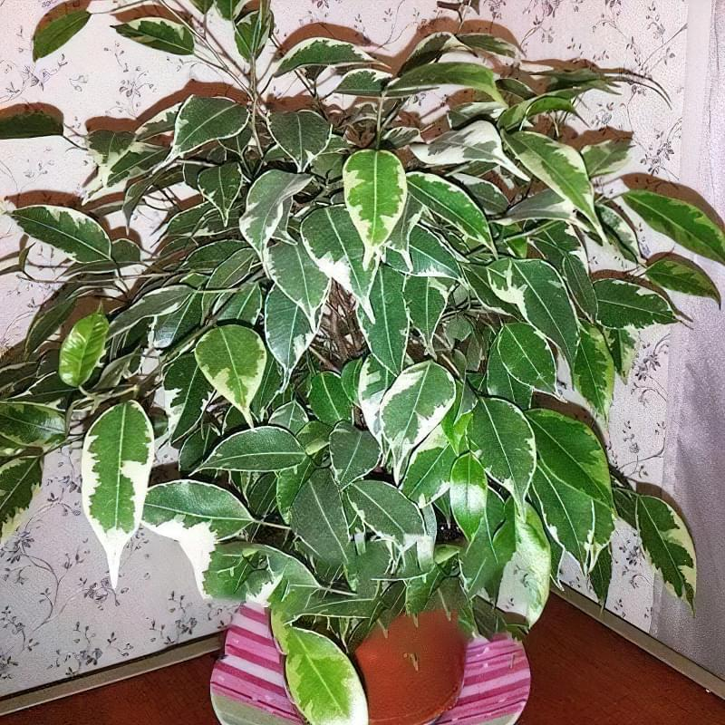 Фікус – догляд в домашніх умовах, поради по вирощуванню 3