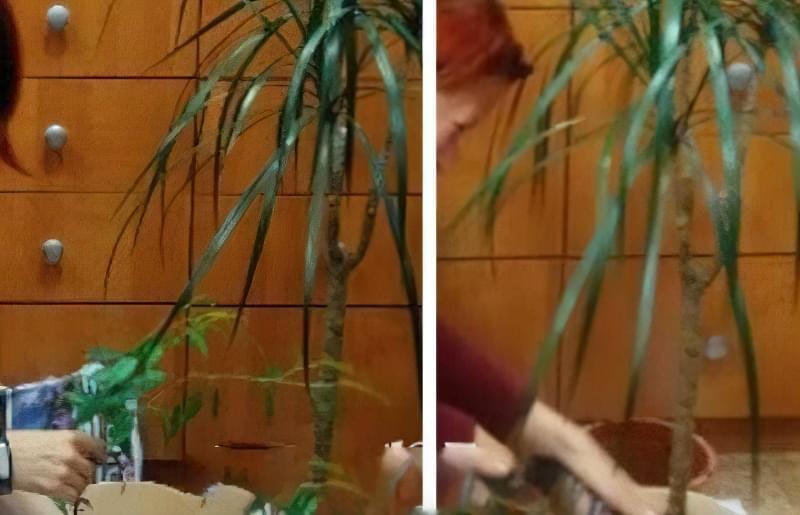 Фікус – догляд в домашніх умовах, поради по вирощуванню 5