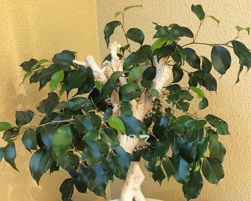 Фікус – догляд в домашніх умовах, поради по вирощуванню 6