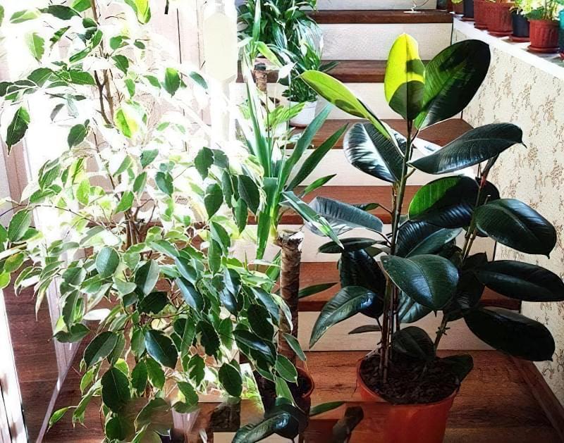 Фікус – догляд в домашніх умовах, поради по вирощуванню 1