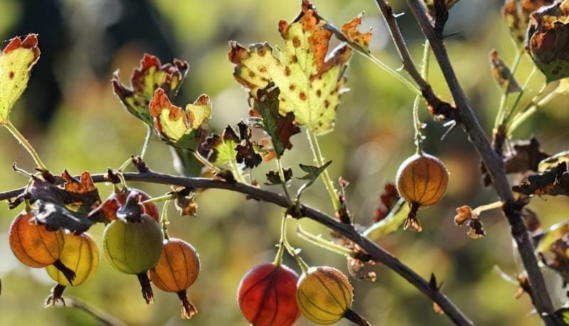 Агрус — шкідники, хвороби та способи боротьби з ними 1