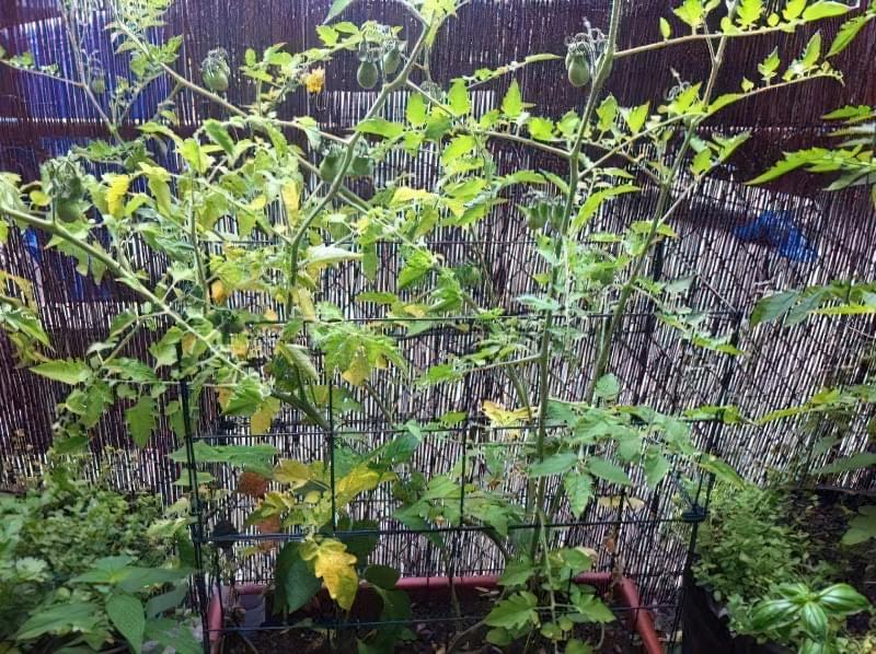 Хворобливий вигляд томатів може бути викликаний і іншими причинами: дефіцитом вологи, наприклад