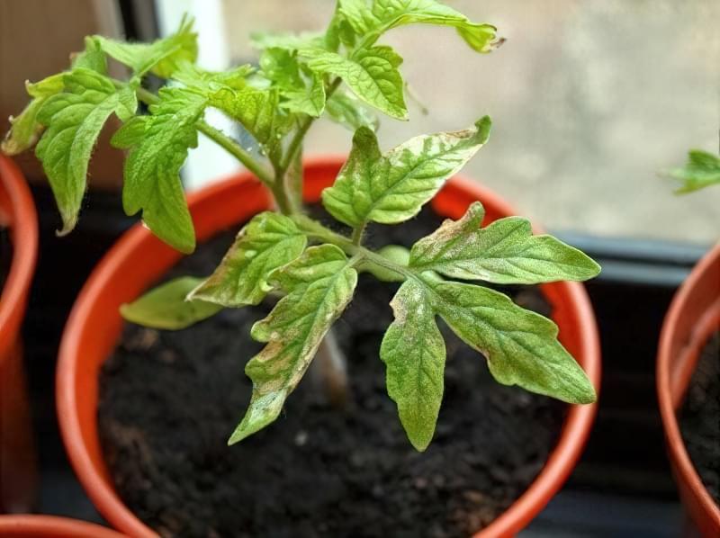 Чого не вистачає томатам та як їх підживлювати? 1