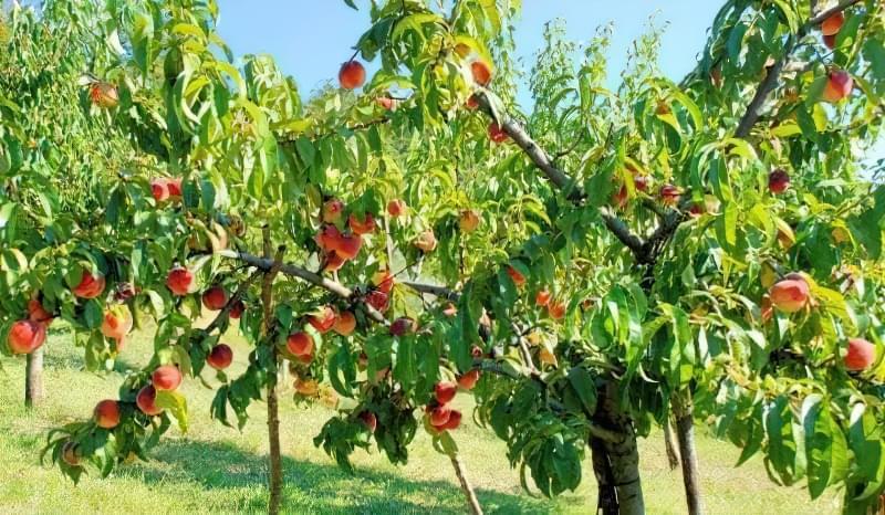Чому обрізка для персика обов'язкова? 1