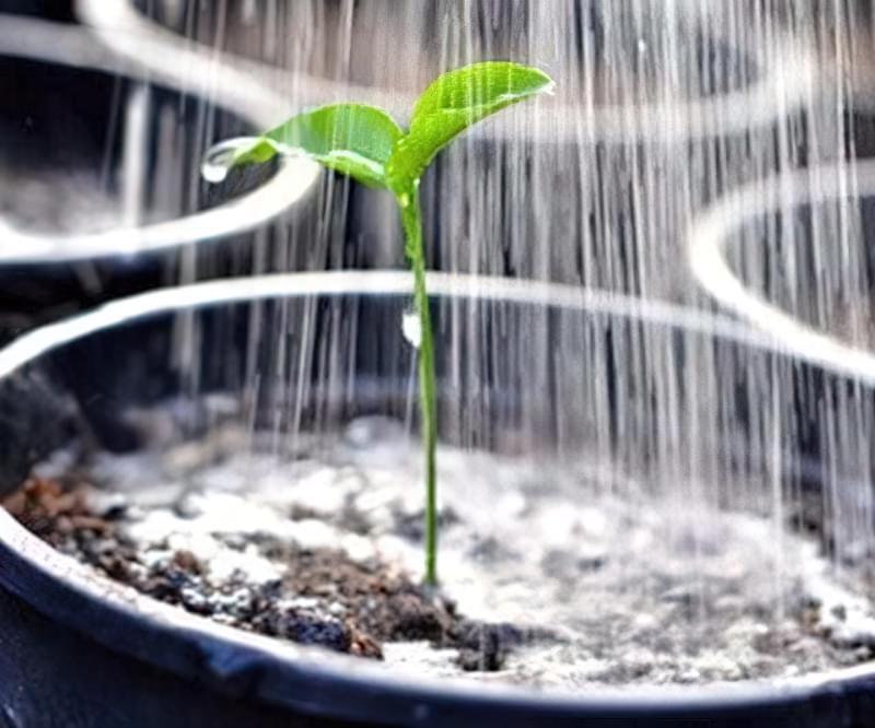 Чому скручується листя розсади? 2