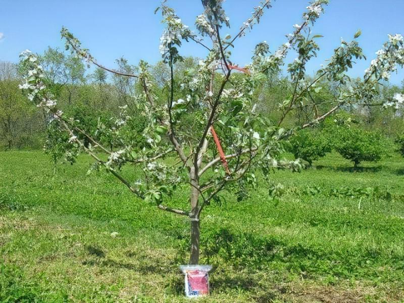 Чому яблуня цвіте, але не плодоносить? 2