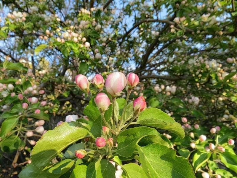 Чому яблуня цвіте, але не плодоносить? 3