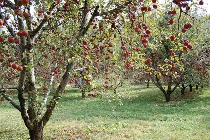 Чому яблуня цвіте, але не плодоносить? 4