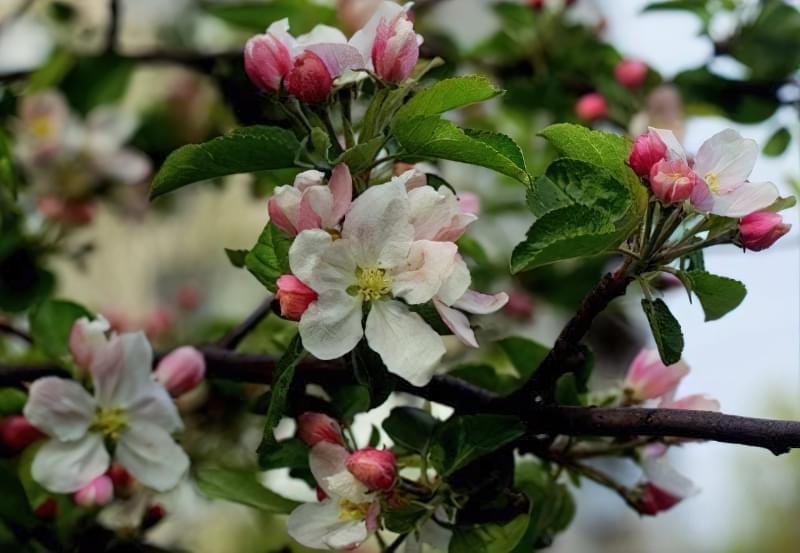Чому яблуня цвіте, але не плодоносить? 1