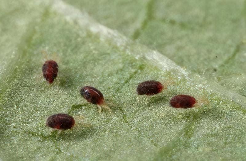 Павутинний кліщ на листі овочів