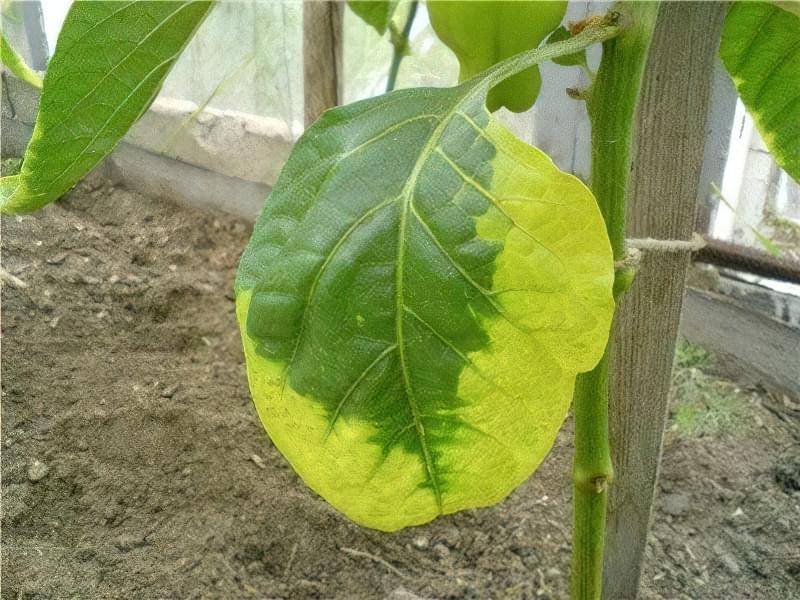 Жовтіючі листя перцю