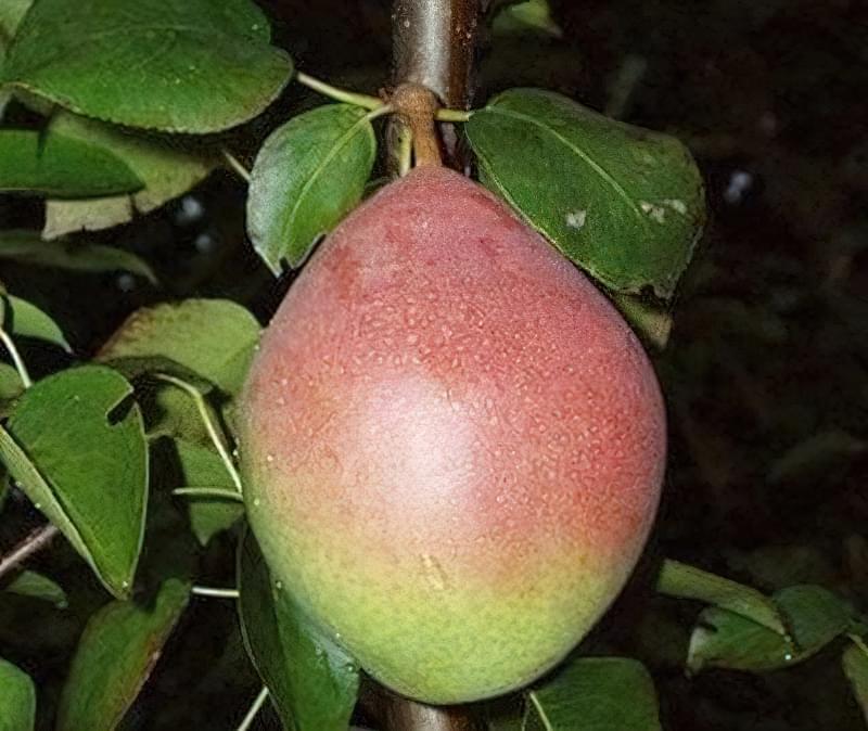 Найкращі сорти груші для саду та дачі 10