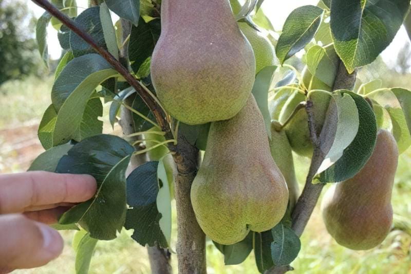 Найкращі сорти груші для саду та дачі 2
