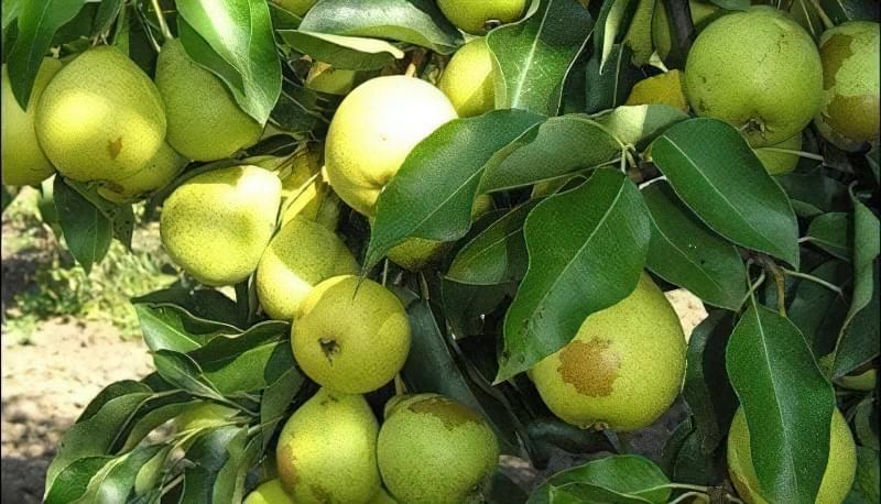 Найкращі сорти груші для саду та дачі 3