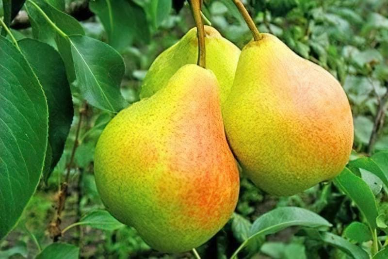 Найкращі сорти груші для саду та дачі 4