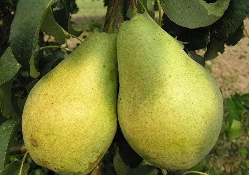 Найкращі сорти груші для саду та дачі 6