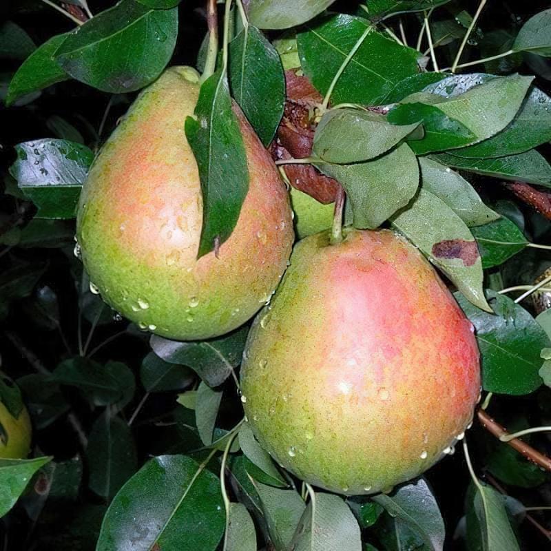 Найкращі сорти груші для саду та дачі 7