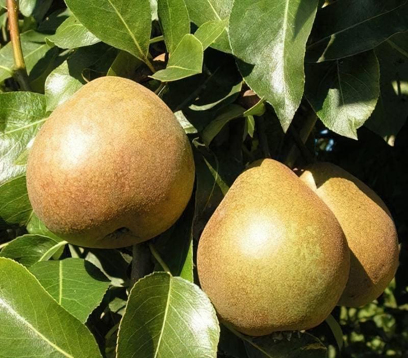Найкращі сорти груші для саду та дачі 8