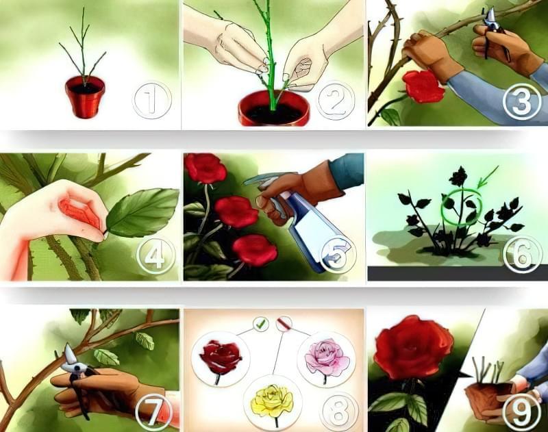 Догляд за трояндами в теплиці