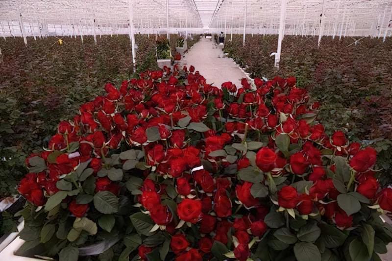 Вирощування троянд в тепличних умовах – справа не з простих
