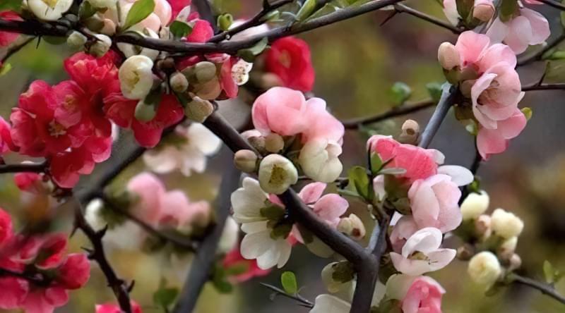 Під час цвітіння айва потребує рясному поливі