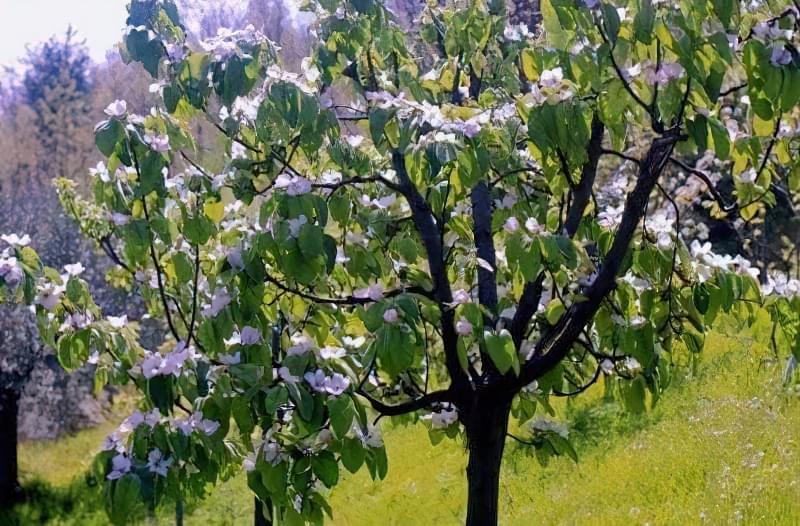 Особливості догляду та правила вирощування айви 9