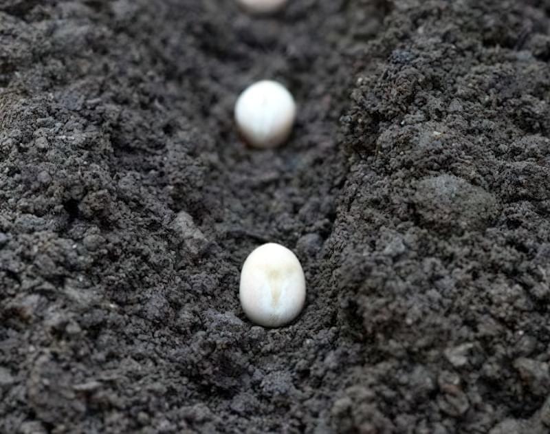 Посів насіння стручкової квасолі