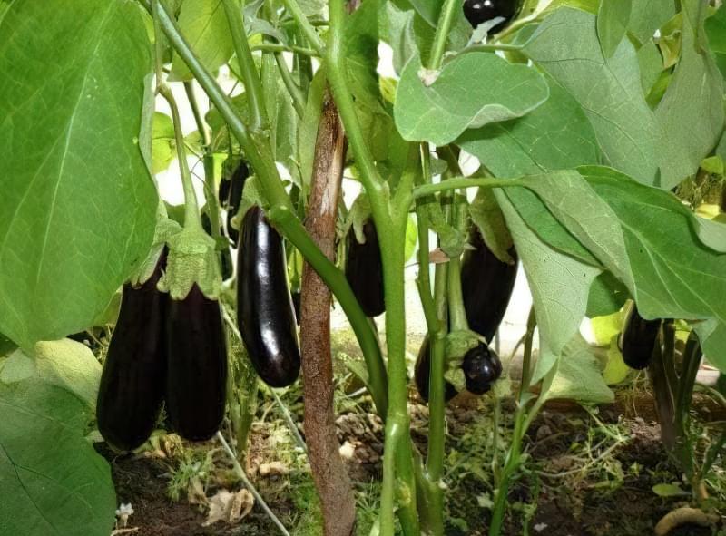 Тепличне вирощування баклажан