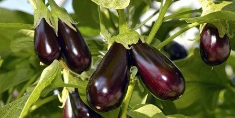 Секрети вирощування баклажанів у відкритому грунті: поради новачкам 1