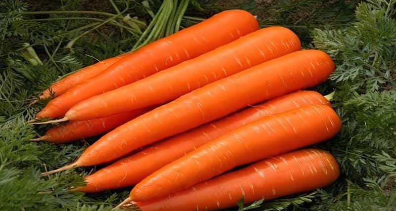 Стійкі до морквяної мухи сорти моркви 2